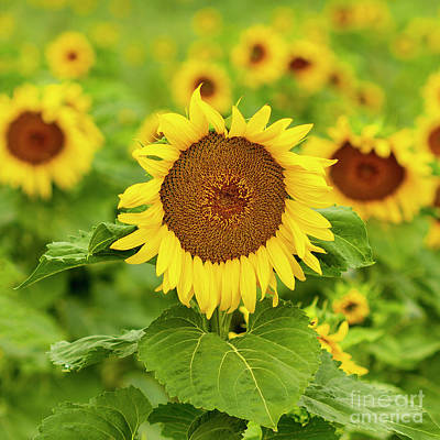 Photograph - Sunflower by Ronda Kimbrow