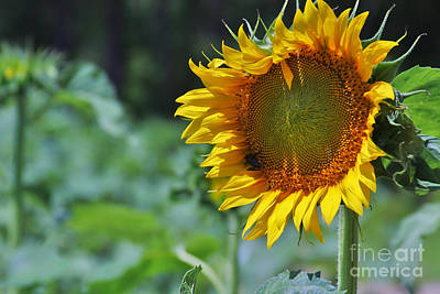 Sunflower Series Art Print by Wendy Mogul