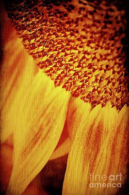 Photograph - Sunflower by Silvia Ganora