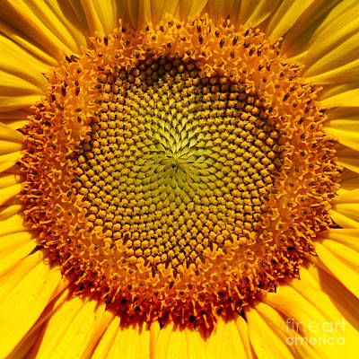 Photograph - Sunflower Square by Karen Adams