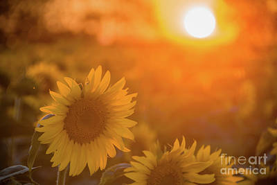 Photograph - Sunflower Sunset by Cheryl Baxter