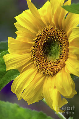 Photograph - Sunflower by Suzanne Luft