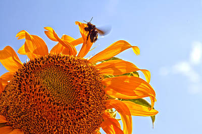 Bee On A Sunflower Print by Toni Hopper