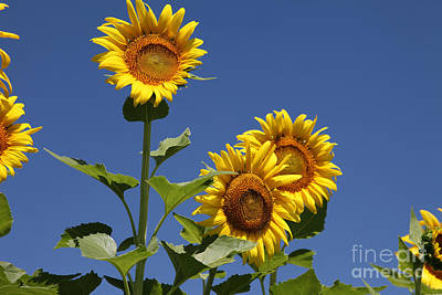 Sunflower Photograph - Sunflowers by Amanda Barcon