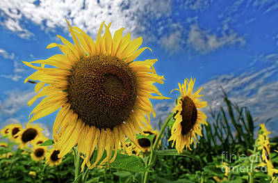 Photograph - Sunflowers And Blue Sky by Paul Mashburn