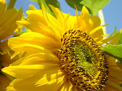 Sunflowers Royalty-Free and Rights-Managed Images - SUNFLOWERS ART Prints Sun Flower Giclee Prints Baslee Troutman by Baslee Troutman
