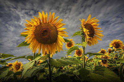 Photograph - Sunflowers Blooming In A Field by Randall Nyhof
