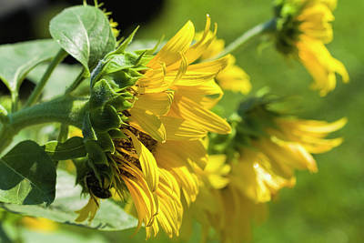 Photograph - Sunflowers by Kathy Clark