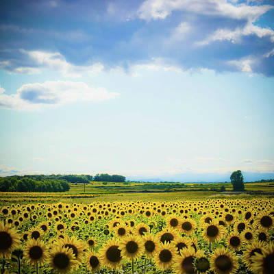 Languedoc Photograph - Sunflowers by Kirstin Mckee