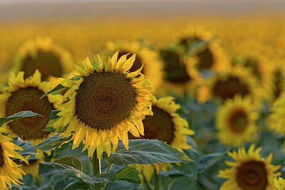Photograph - Sunflowers by Richard Keer