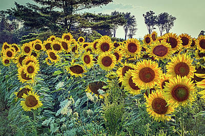 All Black On Trend - Sunflowers by Robert Alsop
