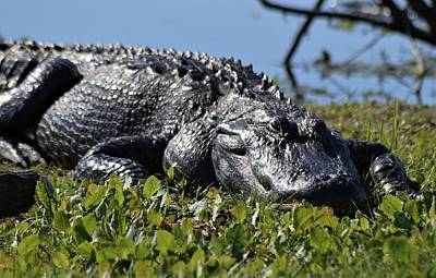 Photograph - Sunning Gator by Warren Thompson
