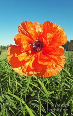 Photograph - Sunny Day Poppy  by Cheryl Baxter