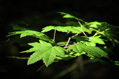 Photograph - Sunny Summer Maple by Marie Leslie