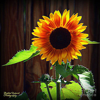 Photograph - Sunny Sunflower by Bobbee Rickard