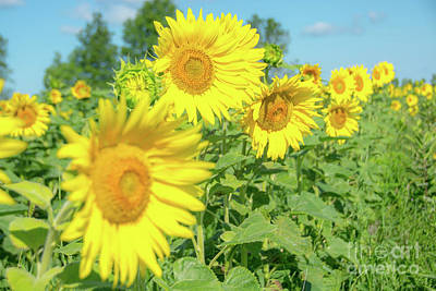Photograph - Sunny Sunflowers by Cheryl Baxter