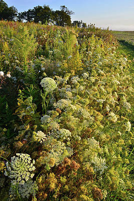 Photograph - Sunrise On Queen Anne's Lace In Glacial Park by Ray Mathis