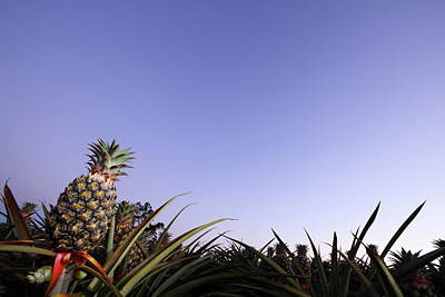 Pineapple Photograph - Pineapples 2am 8603-8606_stack by Andrew McInnes