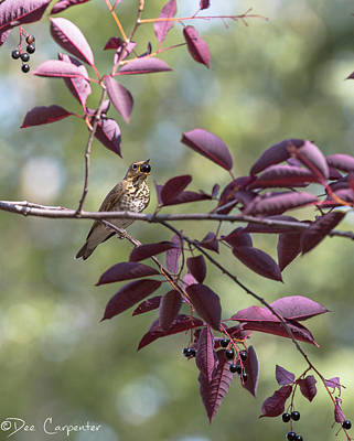 Photograph - Swainson's Thrush by Dee Carpenter