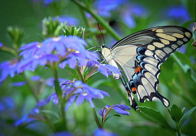 Swallow Photograph - Swallow Tail by Linda Pulvermacher