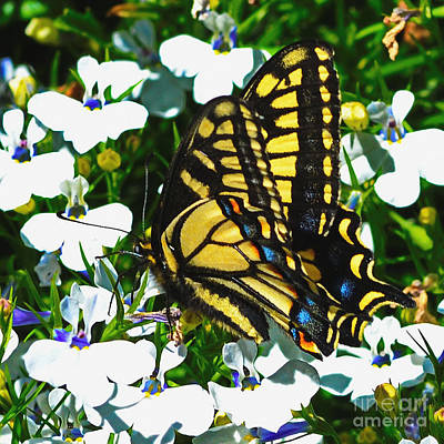 Photograph - Swallowtail Butterfly by Ansel Price