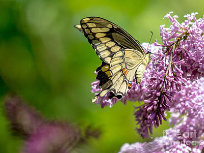 Photograph - Swallowtail Butterfly by Cheryl Baxter