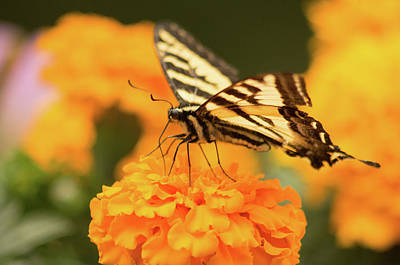 Photograph - Swallowtail Butterfly 2 by Marilyn Wilson