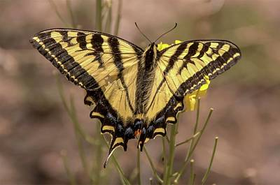 Photograph - Swallowtail Butterfly #2 by NaturesPix