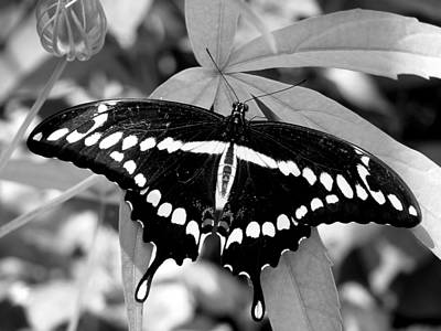 Photograph - Swallowtail by David Weeks