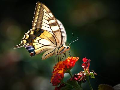 Photograph - Swallowtail by Meir Ezrachi