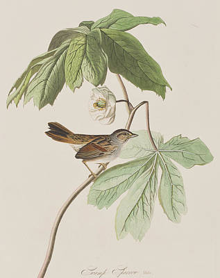 Swamp Sparrow Art Print by John James Audubon