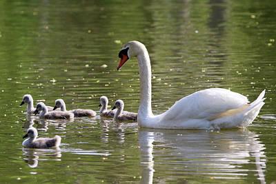 Photograph - Swan And Cygnets Stony Brook New York by Bob Savage