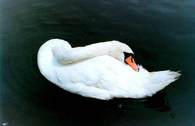 Swan At Rest  Art Print by Richard Mansfield