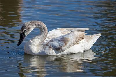 Photograph - Swan Beauty by Lynn Hopwood
