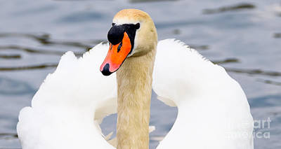 Photograph - Swan by Colin Rayner