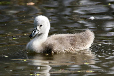 Photograph - Swan Cygnet Stony Brook New York by Bob Savage