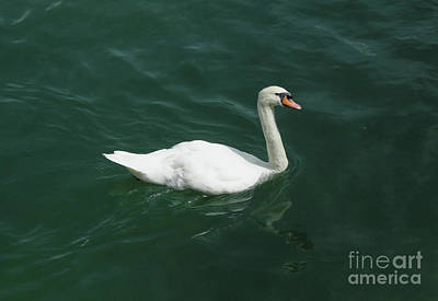 Photograph - Swan by Gregory Dyer
