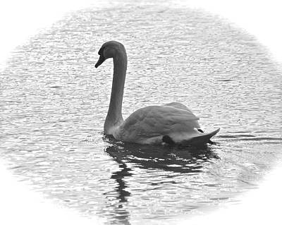 Photograph - Swan In  Black And White by Carol Bradley