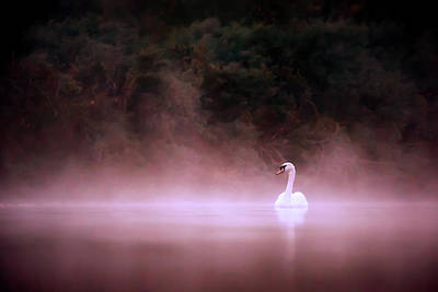 Swan Photograph - Swan In The Mist by Roeselien Raimond