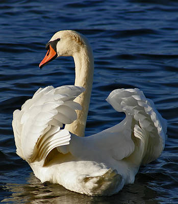 Bird Photograph - Swan by Jan Boesen
