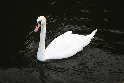 Photograph - Swan by JLowPhotos
