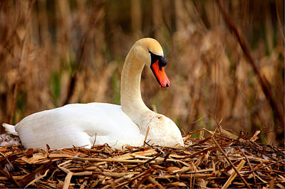 Art Print featuring the photograph Swan Nesting by Chris Babcock