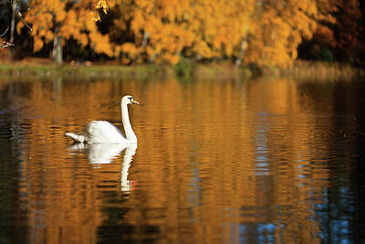 Photograph - Swan On A Lake by Teemu Tretjakov