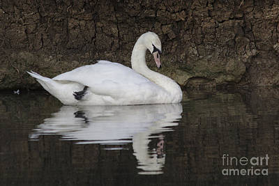 Photograph - Swan Reflection by Jeremy Hayden
