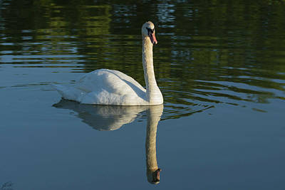 Photograph - Swan Reflection by John Pavolich