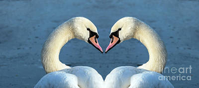 Photograph - Swans Portrait by Odon Czintos