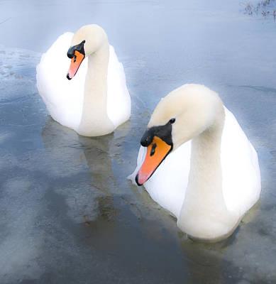White Swan Photograph - Swans by Svetlana Sewell