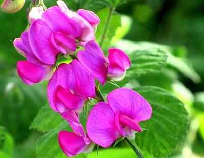 Photograph - Sweet Peas In Bellingham by Karen Molenaar Terrell