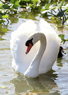 Photograph - Sweet Swan 2 by Carol Groenen
