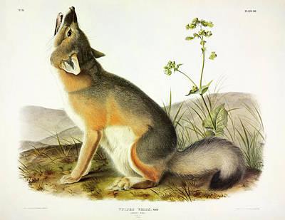 Arctic Fox Painting - Swift Fox by John James Audubon
